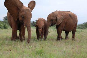 Maisha, Roho und Sattao (c) Sheldrick Wildlife Trust