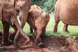 Maktao, Tagwa, Naleku (c) Sheldrick Wildlife Trust