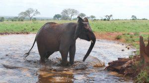 Mbegu (c) Sheldrick Wildlife Trust