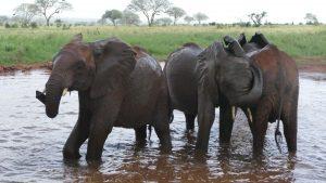 Ndotto (links), Araba und Sagala (c) Sheldrick Wildlife Trust