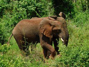 Ngasha und Faraja gehen eigene Wege (c) Sheldrick Wildlife Trust