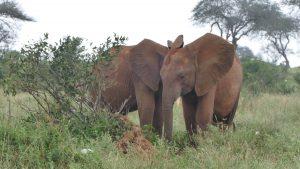 Ngilai und Murit (c) Sheldrick Wildlife Trust
