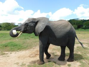 Quanza hat fast ausgesoffen (c) Sheldrick Wildlife Trust
