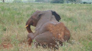 Rorogoi beim Spielen (c) Sheldrick Wildlife Trust