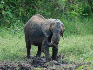 Shukuru an der Suhle in den Chyulu Hills, wo sie auch oft wilde Elefanten treffen (c) Sheldrick Wildlife Trust