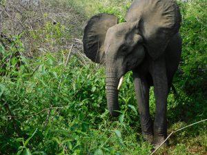Shukuru mag die weichen Blätter (c) Sheldrick Wildlife Trust