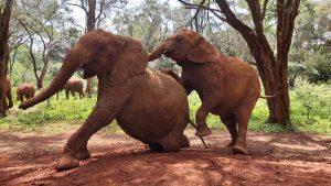 Tamiyoi und Musiara (c) Sheldrick Wildlife Trust