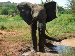 Ziwa gönnt sich eine kleine Abkühlung (c) Sheldrick Wildlife Trust
