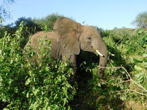 Ziwa hat sich vom Rest der Herde abgesetzt (c) Sheldrick Wildlife Trust