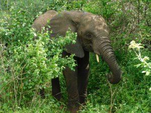 Zongoloni (c) Sheldrick Wildlife Trust