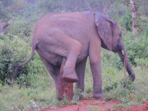 Esampu beim Kratzen (c) Sheldrick Wildlife Trust