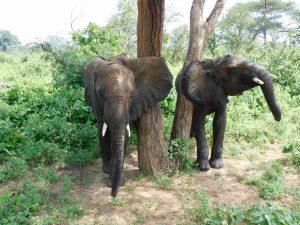 Galla und Tusuja beim Schubbern (c) Sheldrick Wildlife Trust