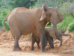 Nasalot mit Nusu (c) Sheldrick Wildlife Trust