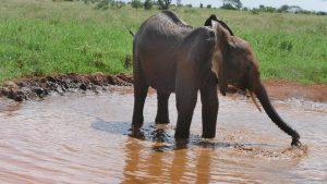 Ndoria (c) Sheldrick Wildlife Trust