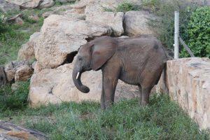Siangiki (c) Sheldrick Wildlife Trust