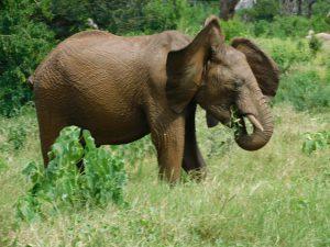 Alamaya kühlt sich mit Ohrenflattern ab (c) Sheldrick Wildlife Trust