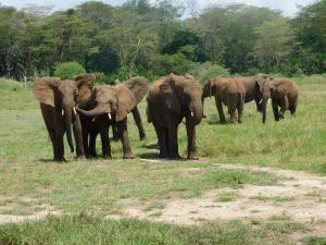 Die Herde auf dem Weg zu ihren Keepern (c) Sheldrick Wildlife Trust