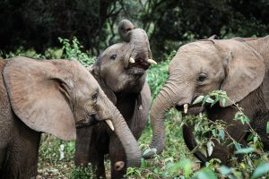 Dololo, Maktao und Musiara (c) Sheldrick Wildlife Trust