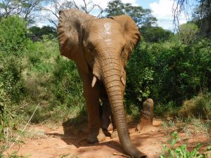 Faraja nach dem Suhlen (c) Sheldrick Wildlife Trust