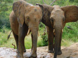 Karisa und Mundusi (c) Sheldrick Wildlife Trust