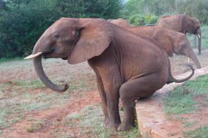Kenia macht es sich auf der Terrasse bequem (c) Sheldrick Wildlife Trust