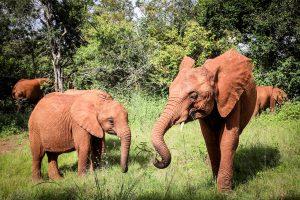 Kiasa und Tagwa (c) Sheldrick Wildlife Trust