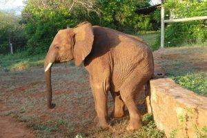 Lasayen kratzt sich den Hintern (c) Sheldrick Wildlife Trust