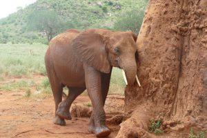 Mudanda schubbert sich am Affenbrotbaum (c) Sheldrick Wildlife Trust