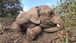 Musiara (c) Sheldrick Wildlife Trust