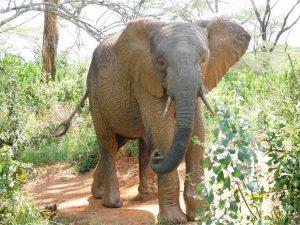 Mwashoti mit seinem Schlamm-Sonnenschutz nach der Suhle (c) Sheldrick Wildlife Trust