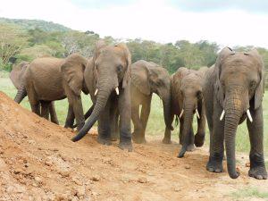 Die Waisen beim Wälzen (c) Sheldrick Wildlife Trust