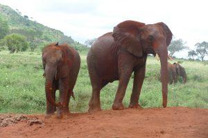 Pika Pika (links) und Aruba (c) Sheldrick Wildlife Trust