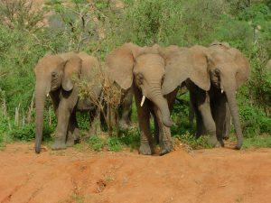 V.l.n.r.: Sana Sana, Pare und Malima (c) Sheldrick Wildlife Trust