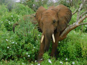 Kauro beim Schubbern (c) Sheldrick Wildlife Trust