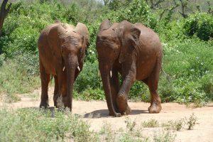 Kuishi und Ndiwa (c) Sheldrick Wildlife Trust