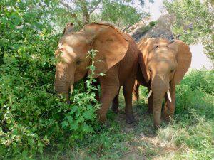 Malkia und Pare (c) Sheldrick Wildlife Trust