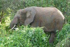 Naisula (c) Sheldrick Wildlife Trust