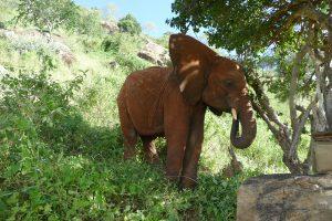 Ndotto beim Fressen (c) Sheldrick Wildlife Trust
