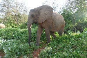 Olare (c) Sheldrick Wildlife Trust
