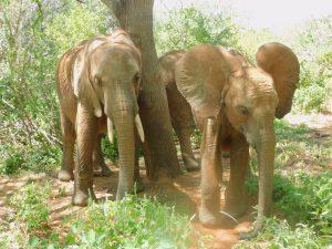 Olsekki und Ambo (c) Sheldrick Wildlife Trust