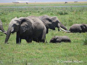 Elefantenkuh mit Kalb im Sumpf