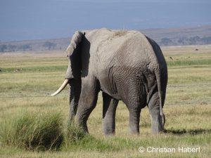 Ein großer Elefantenbulle aus Ambosli.