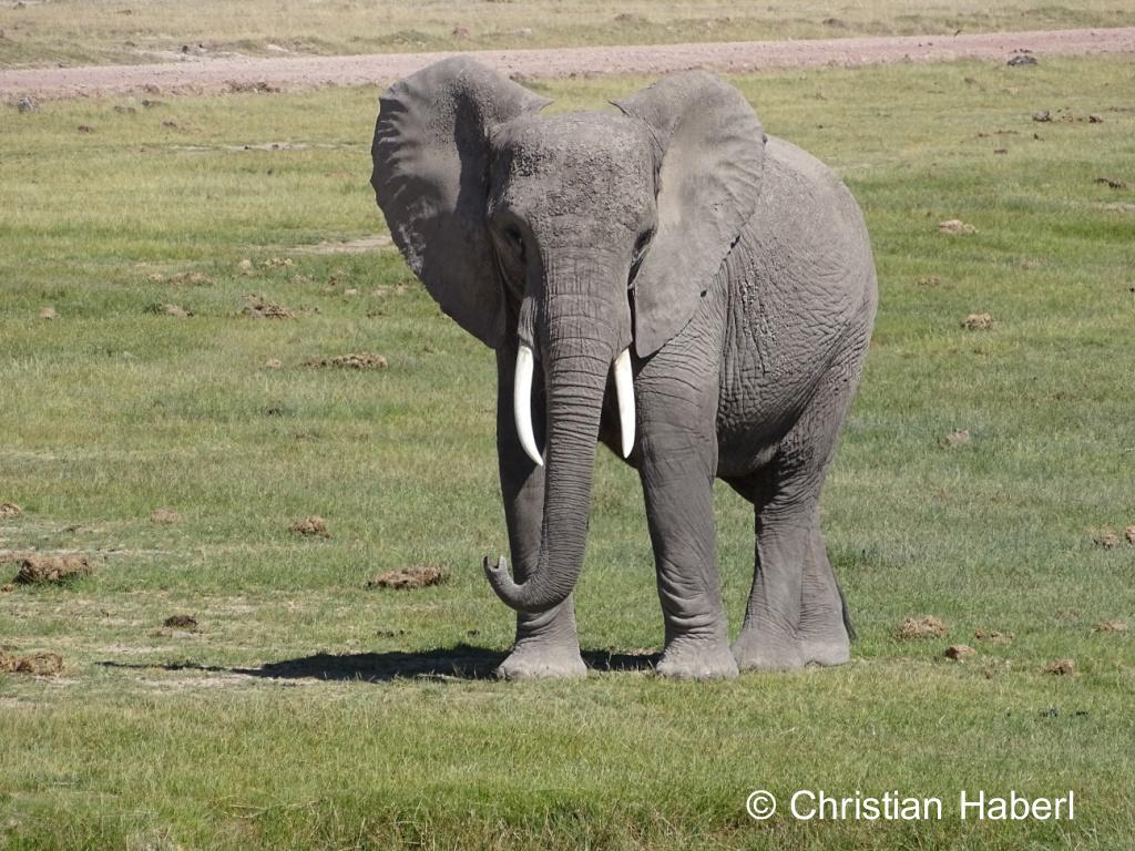 Eine hübsche Elefantenkuh aus Amboseli.