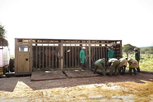 Sattao, Musiara und Dololo ziehen nach Ithumba um