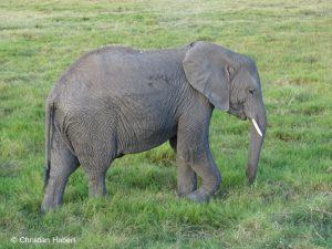 Eine junge Elefantenkuh.
