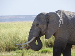 Ein Elefantenbulle in den Ebenen Amboselis.