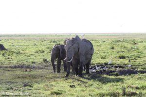 Elefanten und Kuhreiher.