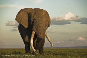 Tim, eine Ikone aus Amboseli