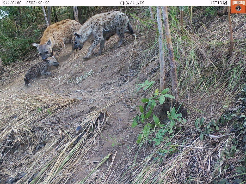 Tüpfelhyänen sammeln ihren Nachwuchs ein. (c) Wildlife Action Group