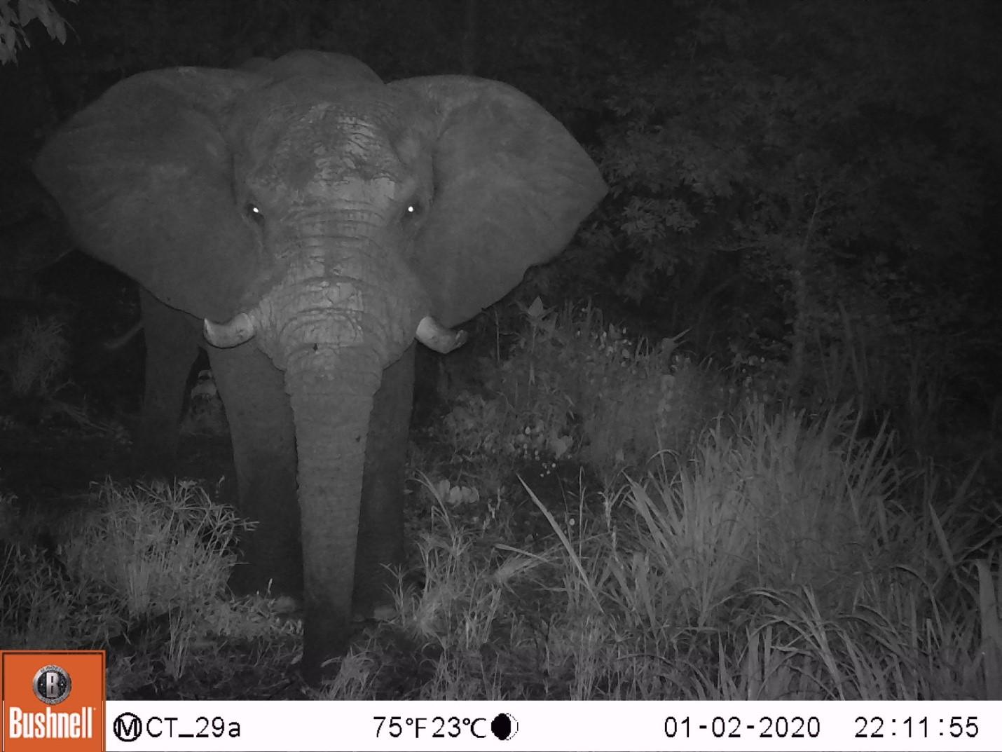 Hastings, unser wunderschöner Elefantenbulle. (Benannt nach dem ersten malawischen Präsident nach der Unabhängigkeit, Hastings Kamuzu Banda) (c) Wildlife Action Group